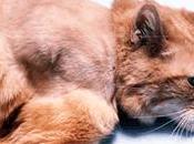 Fibrosarcoma gatto :chirurgia