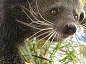 L'orso-gatto nuova passione americana l'animale profuma pop-corn