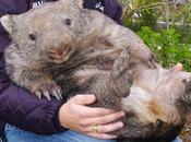wombat Benevento