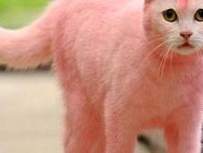 pantera rosa esiste davvero ...ed gatto