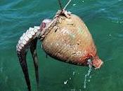 Octopus vulgaris contro Homo sapiens, lotta impari