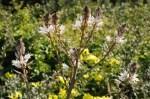 Moraea sisyrinchium altro