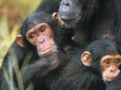 Scimpanzè, un'icona africana