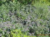 Borrago: pianta infestante bellissima?