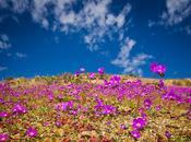 deserto Atacama fiore
