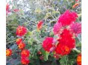 Lantana pianta ideale cespugli fitti, vasi bordure