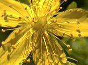 Olio iperico: l'energia curativa sole