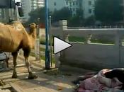 Cina, barbone vive cammello strada (video)