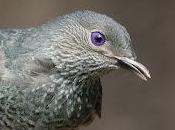 L'uccello giardiniere l'arte della seduzione