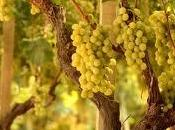 Vini Puglia: Locorotondo