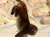 scimmia cammina sulle braccia
