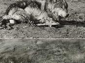 vera storia lupo Lobo