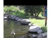 anatre escono dall'acqua spaventate: video comica