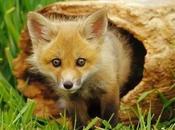 Dear Foxes, Enjoy your Sunday!