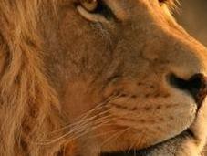 "Apple paga 400mila per…""Lion"""