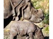 Rotterdam: piccolo rinoceronte spasso mamma