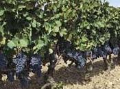 Cannonau Sardegna, rosso famoso dell'isola