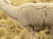 Gianni Berna, primo allevatore d'alpaca Italia