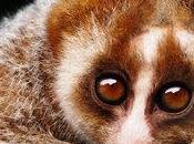 lori lento: curioso primate velenoso
