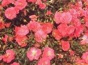 Rose cespuglio
