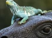 famosa rara Crested Iguana delle isole Fiji