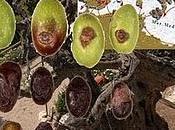 olive Salento leccese hanno LEBBRA!