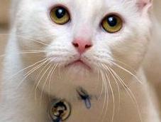 Harvey, gatto nato senza ossa nelle zampine...