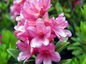Oleandro Rododendro sono stessa cosa!