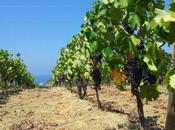 grande risorsa vitigni autoctoni minori della Sicilia