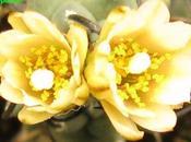 Turbinicarpus schmiedickeanus ssp. klinkerianus semina fiore