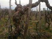 """""""The world Sicilian wine"""". Tenuta Fessina nuovo libro Bill Nesto Frances Savino, University California Press"""