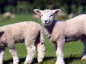 Ricetta sostenibile Pasqua: agnello vivo