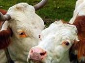 Dallo sterco mucca nuovo deodorante ambienti