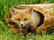Fermiamo caccia alla volpe tana autorizzata comune Siena
