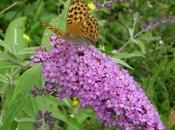 Buddleja Davidii: pianta amata dalle Farfalle
