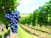 Sangiovese, vitigno amato marchigiani
