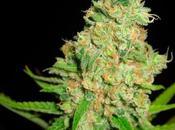 Coltivava marijuana curare figlia dalla leucemia