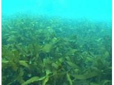Dalle alghe cura l'infertilità maschile