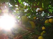 Eugenio montale, limoni.