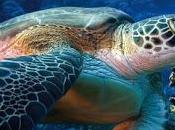 Video Turtle 2013 Liberazione Caretta caretta nelle meravigliose acque siciliane