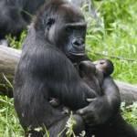Mamma gorilla partorisce gemelli: raro evento allo Arnhem
