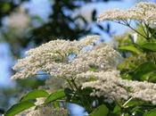Sambuco: fiori come pizzi