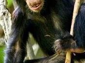 femmine scimpanzè giocano bambole