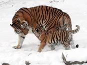 luglio 2013 Giornata Mondiale della Tigre