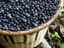 Frutto Acai, bene alla salute ricco nutrienti. cibo preferito dalla natura