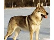 l'informazione disinforma:al lupo,al lupo!