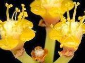 Wallpaper: Euphorbia Gossypina