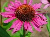 Echinacea grasso scompare