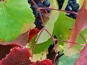Tannat vitigno principe dell'Uruguay