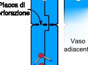 Elementi conduttori: xilema floema